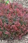 /Images/johnsonnursery/product-images/Berberis Sunjoy Mini Salsa_gn8vqsc1w.jpg
