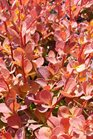 /Images/johnsonnursery/product-images/Berberis Toscana042116_kvhtbazbd.jpg