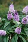 /Images/johnsonnursery/product-images/Buddleia Pugster Amethyst_md44igibm.jpg