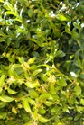 /Images/johnsonnursery/product-images/Buxus Green Mountain_24szl2bd9.jpg