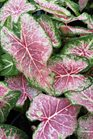 /Images/johnsonnursery/product-images/Caladium Pink Cloud2060216_ssbcnp95k.jpg