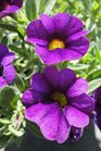 /Images/johnsonnursery/product-images/Calibrachoa Callie Purple3041013_97btz1tj3.jpg