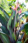 /Images/johnsonnursery/product-images/Canna Bird of Paradise_jq8cfqxa6.jpg