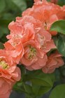 /Images/johnsonnursery/product-images/Chaenomeles Double Take Peach_29amzsot8.jpg