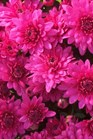 /Images/johnsonnursery/product-images/Chrysanthemum Magnus Violet_bw9buz24x.jpg