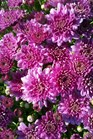 /Images/johnsonnursery/product-images/Chrysanthemum Pamona Violet100411_jzd9t05tv.jpg