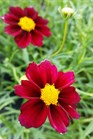 /Images/johnsonnursery/product-images/Coreopsis Big Bang Murcury Rising051716_upe1n58wr.jpg
