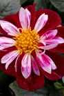 /Images/johnsonnursery/product-images/Dahlia Starsister Red White2032817_tm412m9ql.jpg