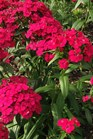 /Images/johnsonnursery/product-images/Dianthus Jolt Cherry_kt7w9xhig.jpg