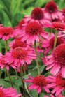 /Images/johnsonnursery/product-images/Echinacea Delicious Candy_es35hauea.jpg