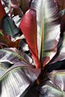 /Images/johnsonnursery/product-images/Ensete Maurelli2041416_7gv343unq.jpg