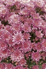 /Images/johnsonnursery/product-images/Fiora_pink_hp8w2p374.jpg