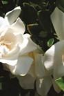 /Images/johnsonnursery/product-images/Gardenia_Jubilation_1800x1200px_website_wmt2d4b0g.jpg