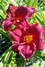 /Images/johnsonnursery/product-images/Hemerocallis Cranberry Baby2051517_sgfet2lvt.jpg