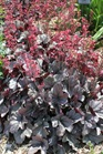 /Images/johnsonnursery/product-images/Heuchera Dolce Silver Gumdrop_watwbldbc.jpg
