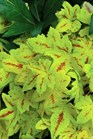 /Images/johnsonnursery/product-images/Heucherella Sunrise Falls_kgqz9qt5h.jpg