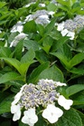 /Images/johnsonnursery/product-images/Hydrangea Blue Wave_n5eee6iw7.jpg