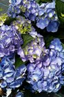 /Images/johnsonnursery/product-images/Hydrangea LA Dreamin061416_3d6kc9bzs.jpg