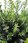 /Images/johnsonnursery/product-images/Ilex Blue Maid3071713_ncoe5ufi1.jpg
