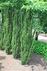 /Images/johnsonnursery/product-images/Ilex Sky Pencil062901_8v3gtxo46.jpg