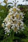 /Images/johnsonnursery/product-images/Lagerstroemia Natchez5080216_xtoi7swzk.jpg