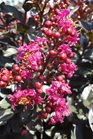 /Images/johnsonnursery/product-images/Lagerstroemia Plum Magic071613_8zu713xzt.jpg