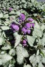 /Images/johnsonnursery/product-images/Lamium Purple Dragon031513_e6cxdb5p4.jpg