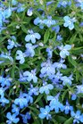 /Images/johnsonnursery/product-images/Lobelia Techno Heat Upright Light Blue4041316_sck7fnstd.jpg