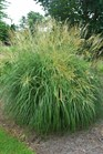 /Images/johnsonnursery/product-images/Miscanthus Adagio071403_uva2tv7mu.jpg