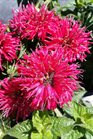 /Images/johnsonnursery/product-images/Monarda Pardon My Cerise2061316_x8gsditsb.jpg