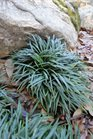 /Images/johnsonnursery/product-images/Ophiopogon Nana021613_qlw2rokrf.jpg