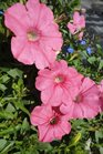 /Images/johnsonnursery/product-images/Petunia Supertunia Burmuda Beach041113_t999zjuts.jpg