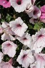 /Images/johnsonnursery/product-images/Petunia Vista Silverberry4051613_wotcvlvut.jpg