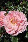/Images/johnsonnursery/product-images/Rosa Apricot Drift051413_ppcjj5sza.jpg
