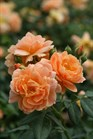 /Images/johnsonnursery/product-images/Rosa At Last_ccnpbt1uh.jpg