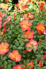 /Images/johnsonnursery/product-images/Rosa Oso Easy Hot Paprika_ccq8tsoce.jpg