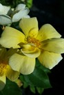 /Images/johnsonnursery/product-images/Rosa Sunny Knock Out2081116_5ipifd045.jpg