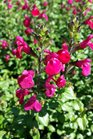 /Images/johnsonnursery/product-images/Salvia Free Speech3041316_svvjaagoa.jpg