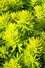 /Images/johnsonnursery/product-images/Sedum Angelina030907_0gx5wkq28.jpg
