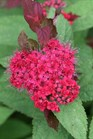/Images/johnsonnursery/product-images/Spiraea Double Play Doozie_hot2dc0dw.jpg