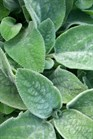 /Images/johnsonnursery/product-images/Stachys Helen Von Stein2070500_onatna1g1.jpg