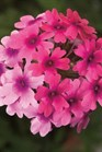 /Images/johnsonnursery/product-images/Verbena Lanai Bright Eye_3ipnjp72e.jpg