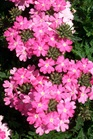 /Images/johnsonnursery/product-images/Verbena Lanai Bright Pink050905_jaqdpea71.jpg