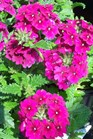 /Images/johnsonnursery/product-images/Verbena Superbena Burgundy042604_nnr0xwjgd.jpg