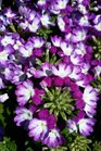 /Images/johnsonnursery/product-images/Verbena Wicked Cool Purple041316_iq6omvswl.jpg
