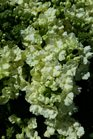 /Images/johnsonnursery/product-images/Verbena lanai Upright Lime Green2041316_26z083twq.jpg