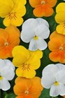 /Images/johnsonnursery/product-images/Viola Sorbet XP Citrus Mix_n482na9h8.jpg