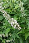 /Images/johnsonnursery/product-images/Vitex Daytona Heat Dale White2071116_ckv7i4apz.jpg
