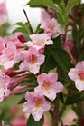 /Images/johnsonnursery/product-images/Weigela Sonic Bloom Pure Pink_jgwv5n32e.jpg