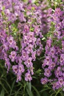 /Images/johnsonnursery/product-images/angelonia_angelface_steel_blue_web_l0w3no8lc.jpg